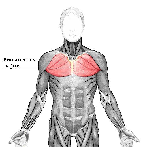Muskelgruppe Bankdrücken - Pectoralis Major