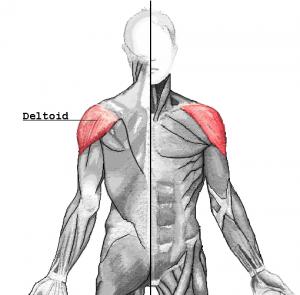 Muskelgruppe Bankdrücken - Deltoideus
