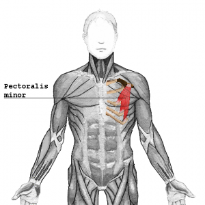 Muskelgruppe Bankdrücken - Pectoralis Minor